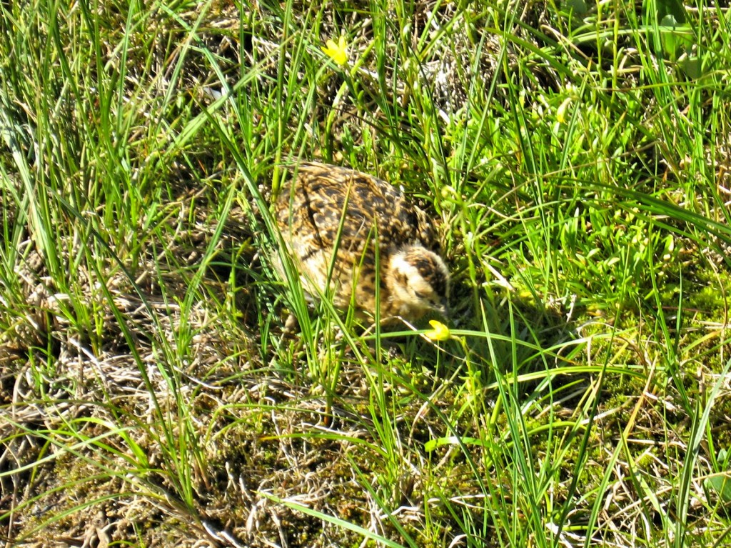 Baby Ptarmigan along the trail.