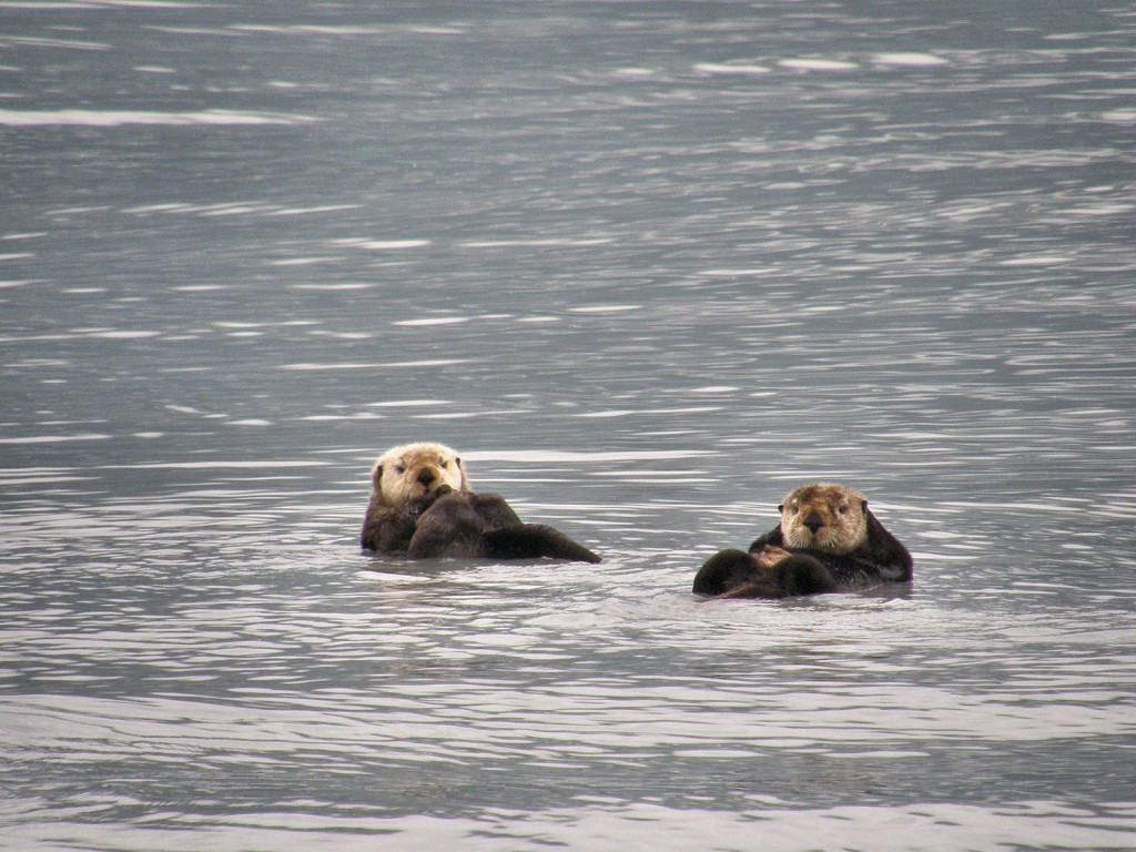 Sea Otters hard at work doing what they do.