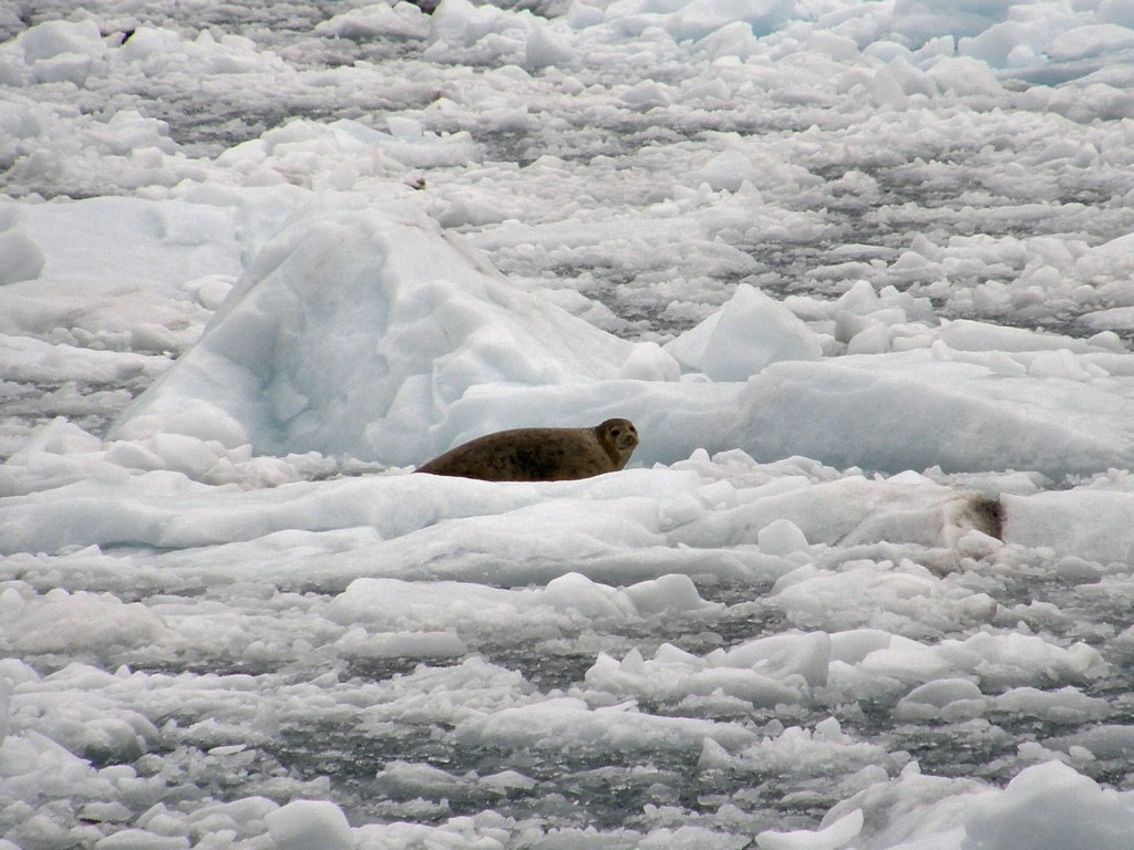 Harbor Seal resting on ice floe