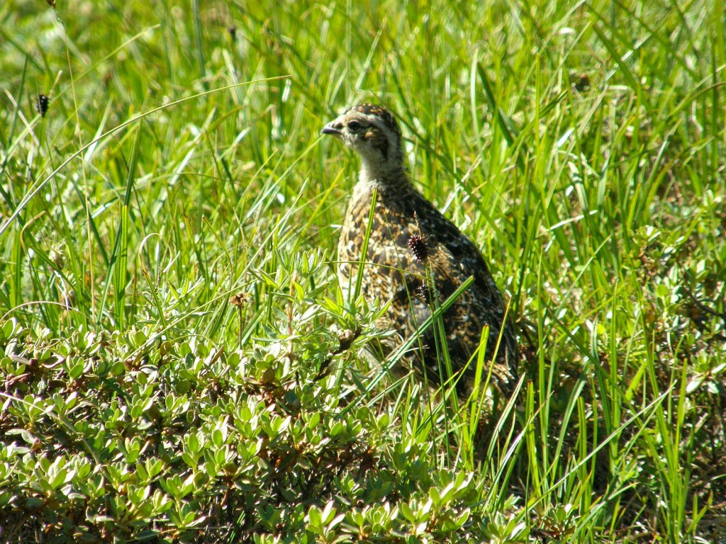 Mother Ptarmigan watching over her young one.