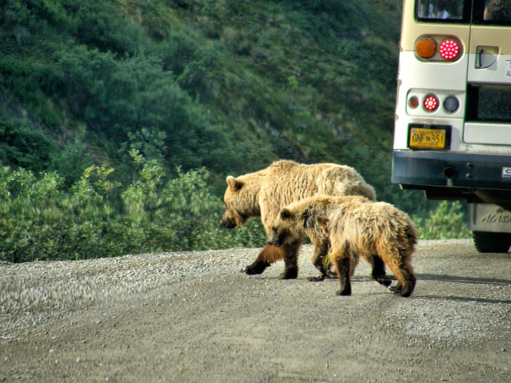 On the drive in we viewed a grizzly sow with two cubs.