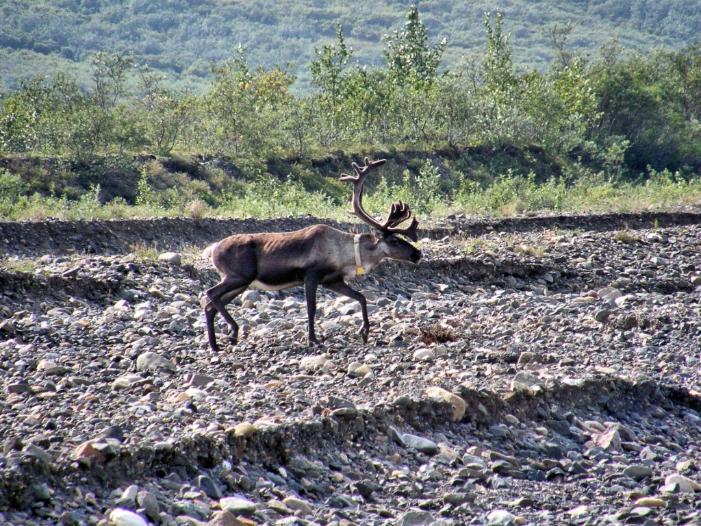 Caribou with radio collar