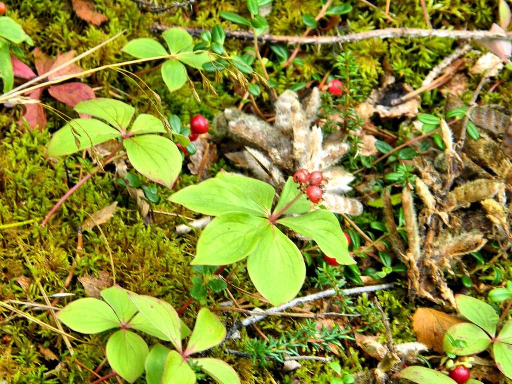Bunchberries
